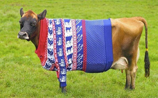 cow-in-a-jumper-Tapnell Farm Isle of Wight