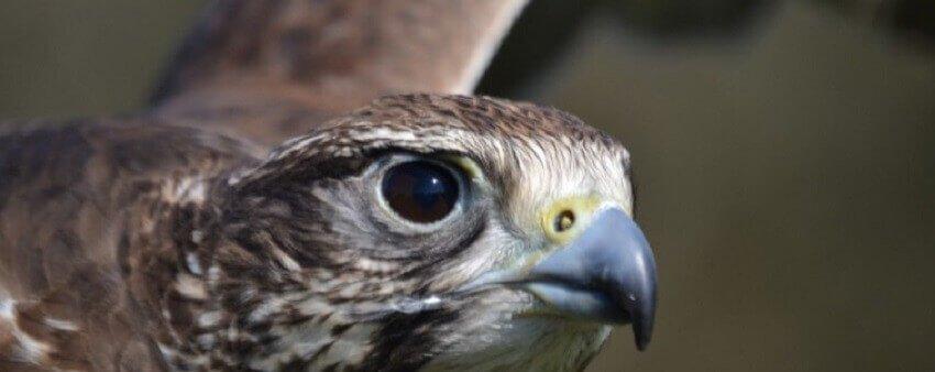 Falconry Display IOW