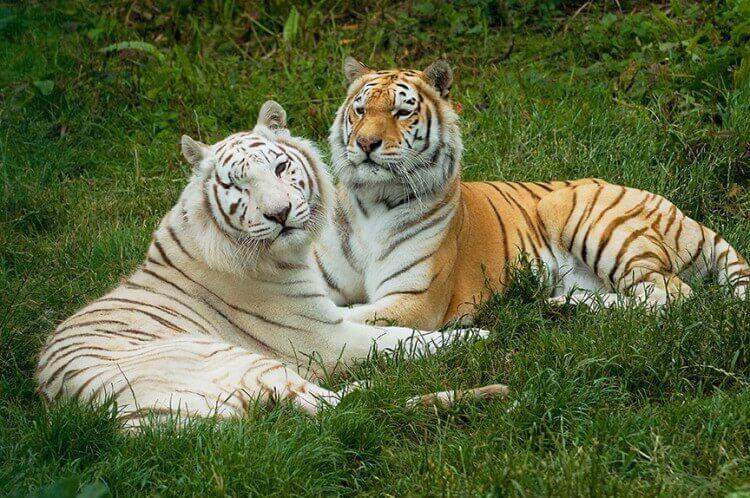 Isle of Wight Zoo Tigers