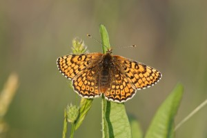 Glanville Fritillary Isle of Wight