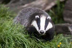 Isle of Wight Badger