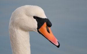 Isle of Wight Swan