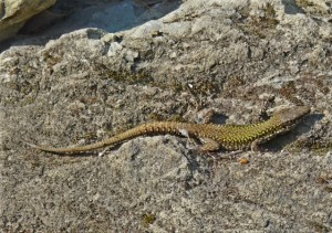 Isle of Wight Ventnor Wall Lizard