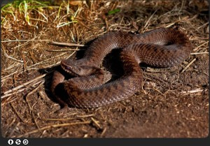 isle of wight adder