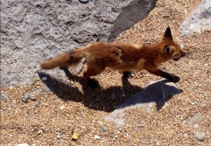Isle of Wight Fox